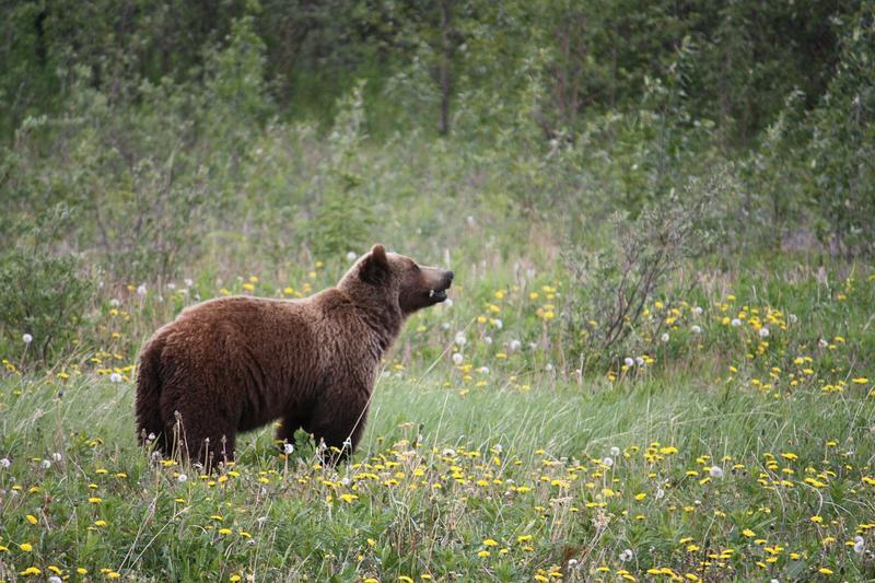 Sabia que existiram ursos pardos em Portugal?
