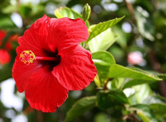 Chá de Hibisco para que serve