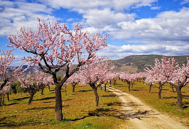 ver as Amendoeiras em Flor