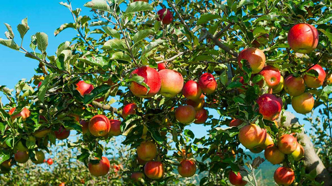 comer uma maçã por dia