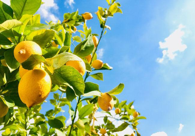 razões para consumir limão todos os dias