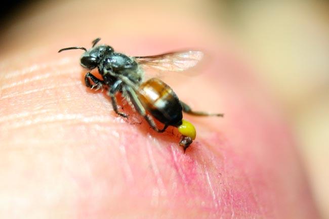 picado por abelhas